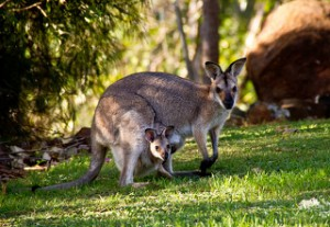 a kangaroo mother and baby